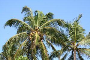 cocotier sri lanka fibre de coco récolte