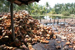 noix de coco récolte fibre de coco substrat