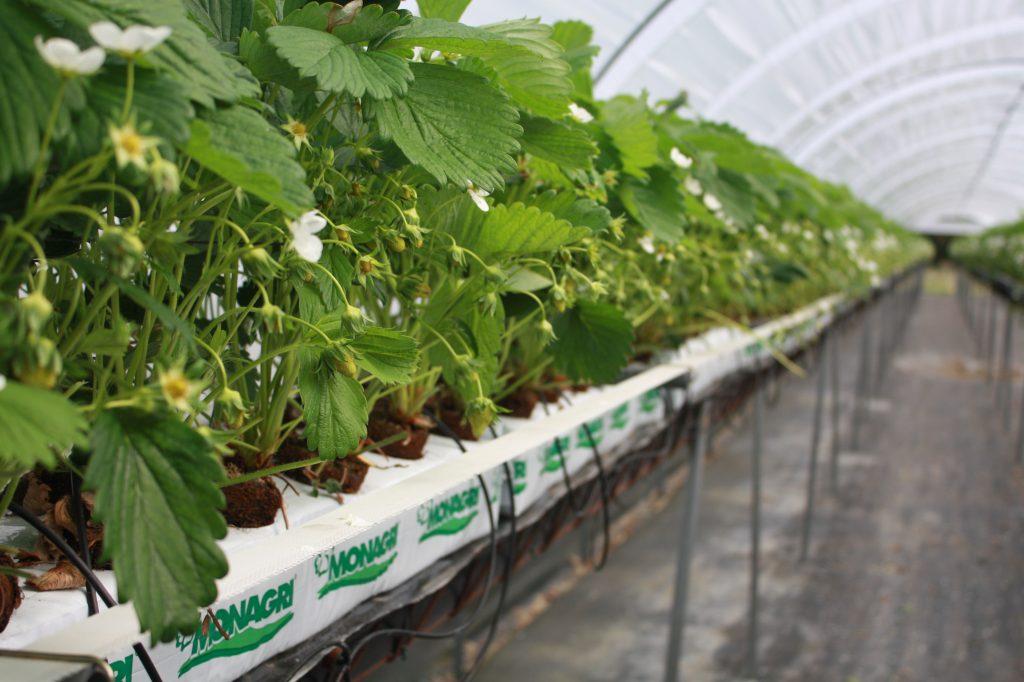 Tray plant Dumona