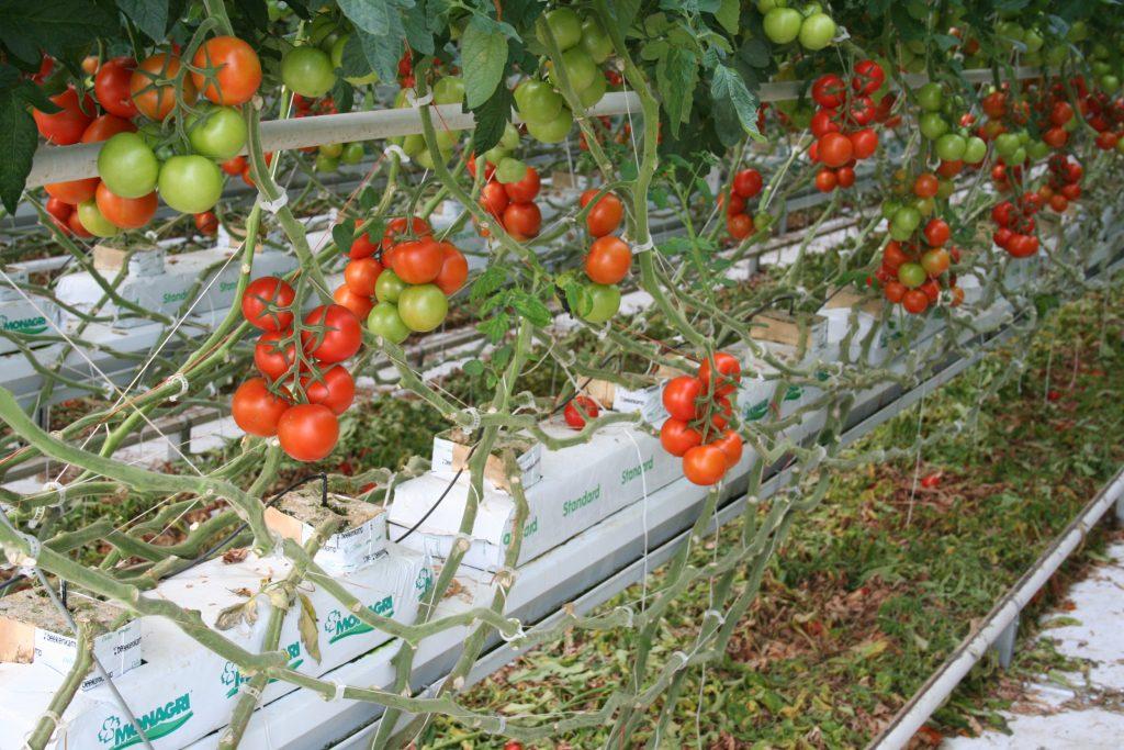 Culture hors-sol tomate pain de fibre de coco
